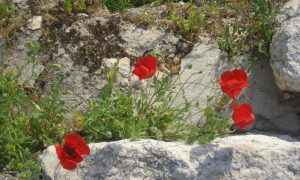 red poppy at bethesda old city of jerusalem
